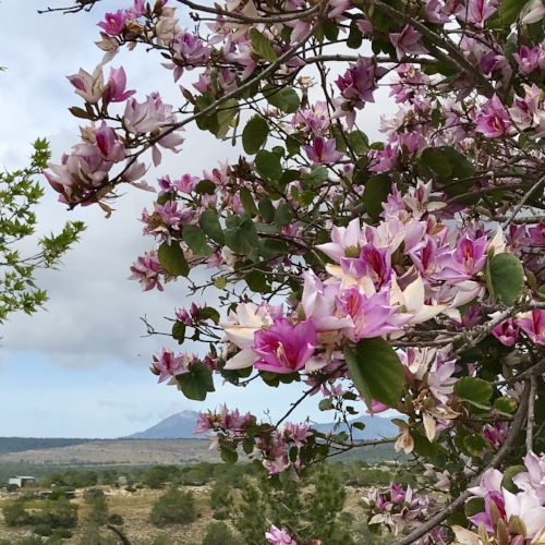 THe beautifully scented Bauhinia tree in Cyprus
