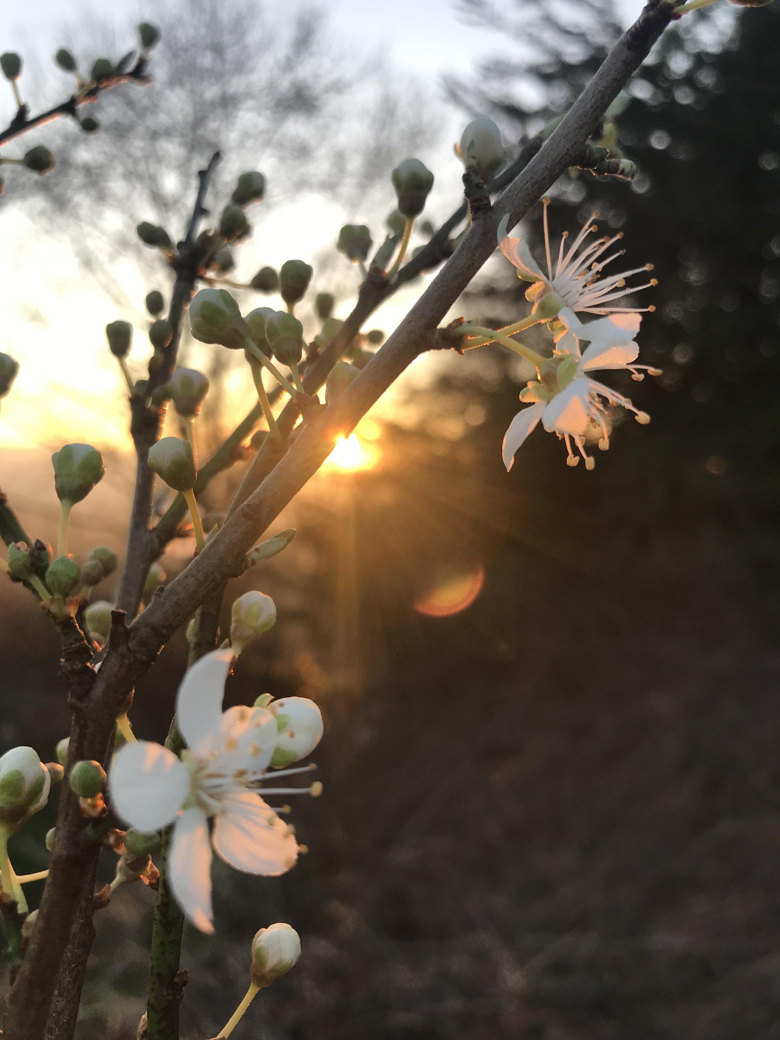 blossom white.jpg