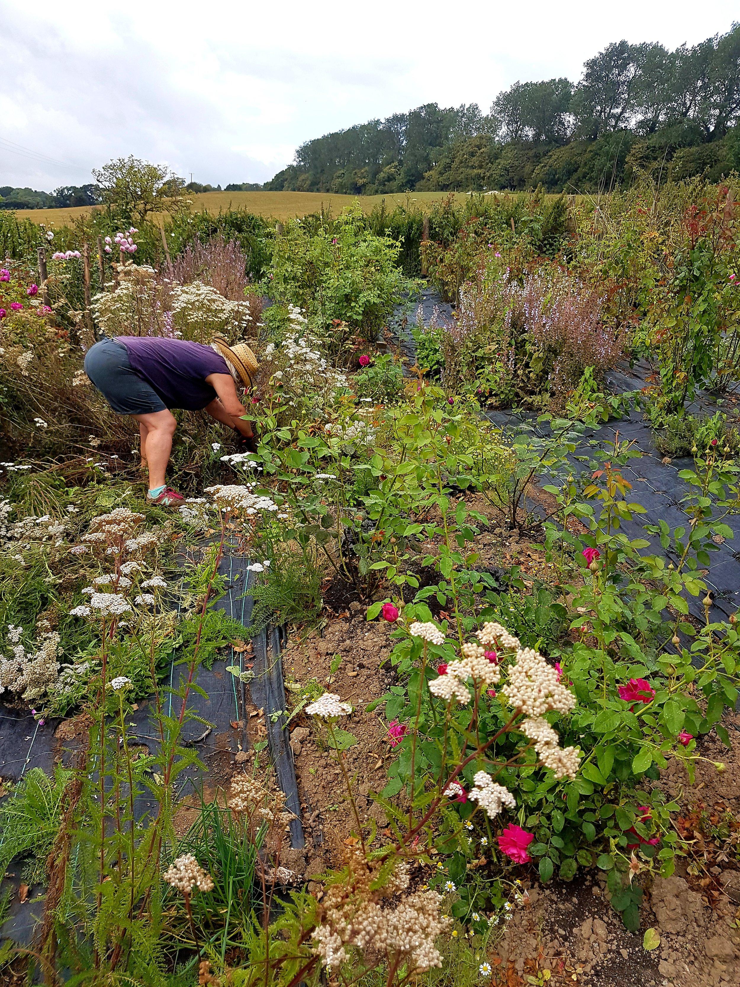 Miranda weeding between plants