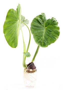 Taro and Poi is believed by the Hawaiian people to have the greatest life force of all foods
