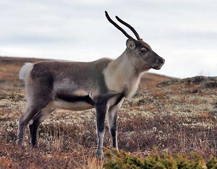 KALV: Normalt har kalven et gevir som består av to enkle stenger, men i visse tilfeller kan det være kløfting i toppen. Jaktmessig skilles det ikke på bukke- og simlekalver.