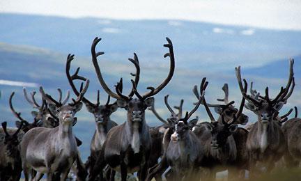 Villrein i Forollhogna fotografert få dager før jaktstart. Foto: Arne Nyaas