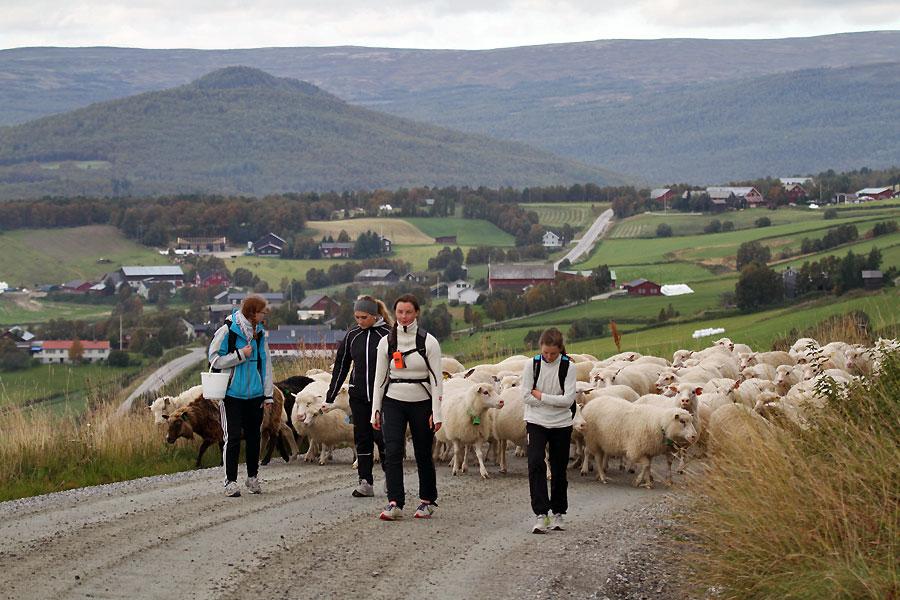 Etter tre dagers saueleting i området Bratthøa-Tverrfjellet-Slettfjellet passerte Os-drifta Dalsbygda i dag. Foto: Arne Nyaas