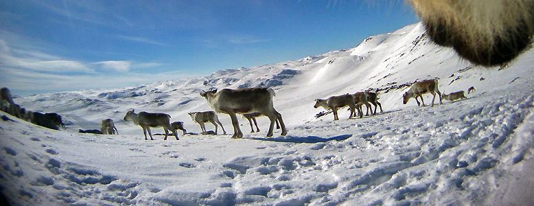 """""""Villreinen er en vandrer som lever i ekstreme omgivelser og er tilpasset et høyfjellsliv. For sin livsførsel trenger den store, funksjonelle landskap i form av sammenhengende fjellområder"""". Foto: Olav Strand og Roy Andersen, Norsk institutt for naturforskning (NINA)"""