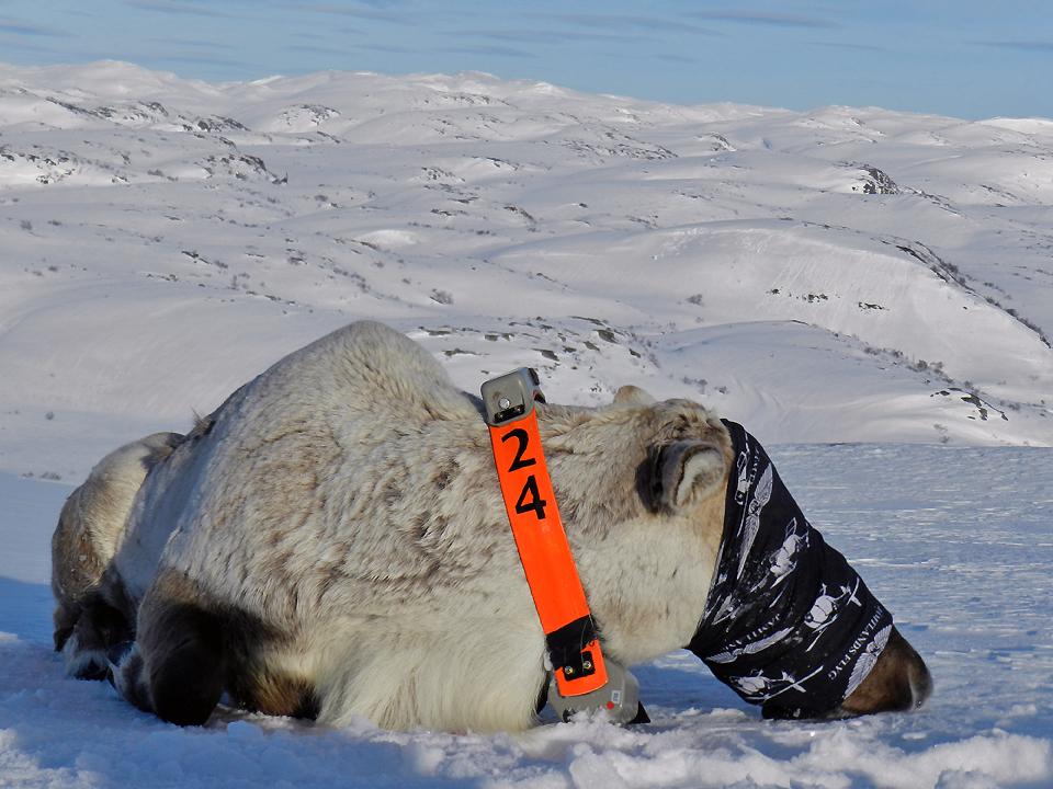 10 dyr ble merket i løpet av to dager den 11. og 12. mars 2014; fire bukker og seks simler. Her en av bukkene. Foto: Roy Andersen, NINA