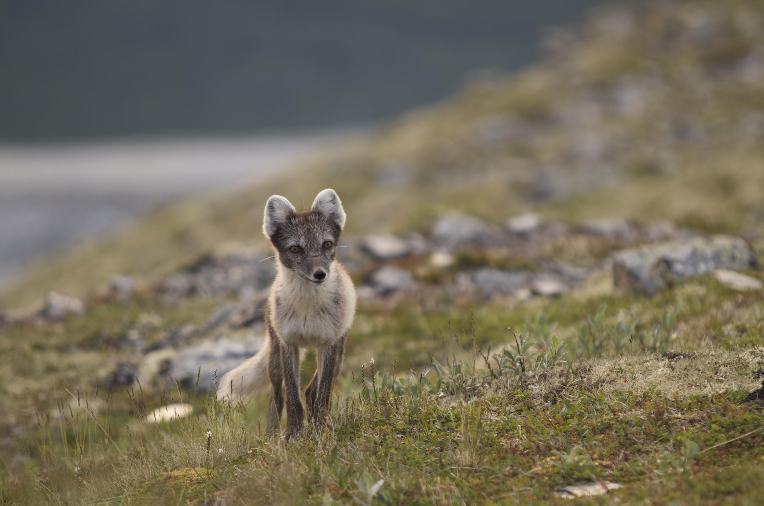 Fjellreven er på vei tilbake i norsk natur. Foto: Anne-Mathilde Thierry/NINA.
