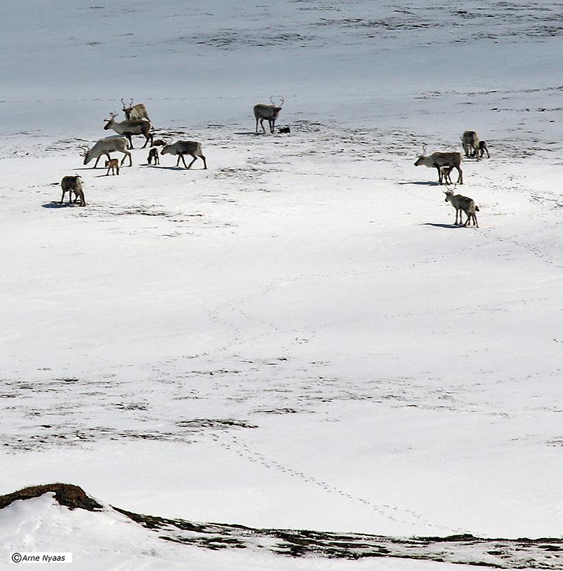 Noen kilometer lenger unna fant vi disse dyrene. Enkelte av kalvene varnoen timer gamle.