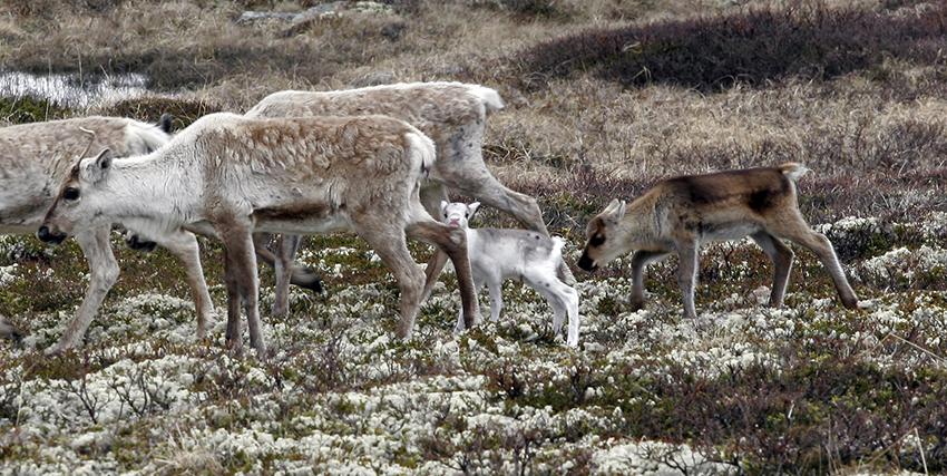 I fjor høst ble det samlet inn prøver fra 14 villreinkalver felt under jakt på Hardangervidda. Snittvekta for kalvene var 13,6 kilo - og 83 prosent hadde svelgbremslarver i nesehula. Hos noen av dyrene var larvemengden stor. Arkivbildet viser simler/kalverfotografert i juni. Foto: A. Nyaas