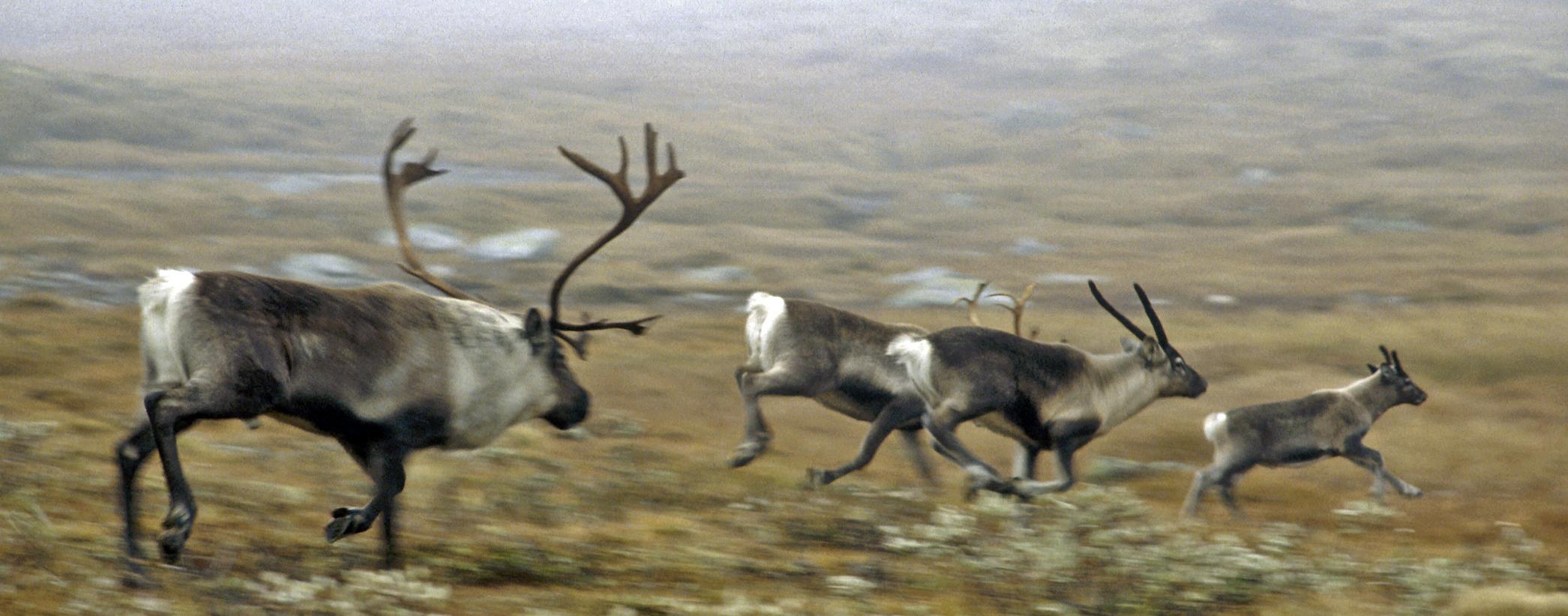 308 søkere har fått tildelt villreinjakt av fjellstyrene i Oppland inkl. Sunndal. Foto: A. Nyaas