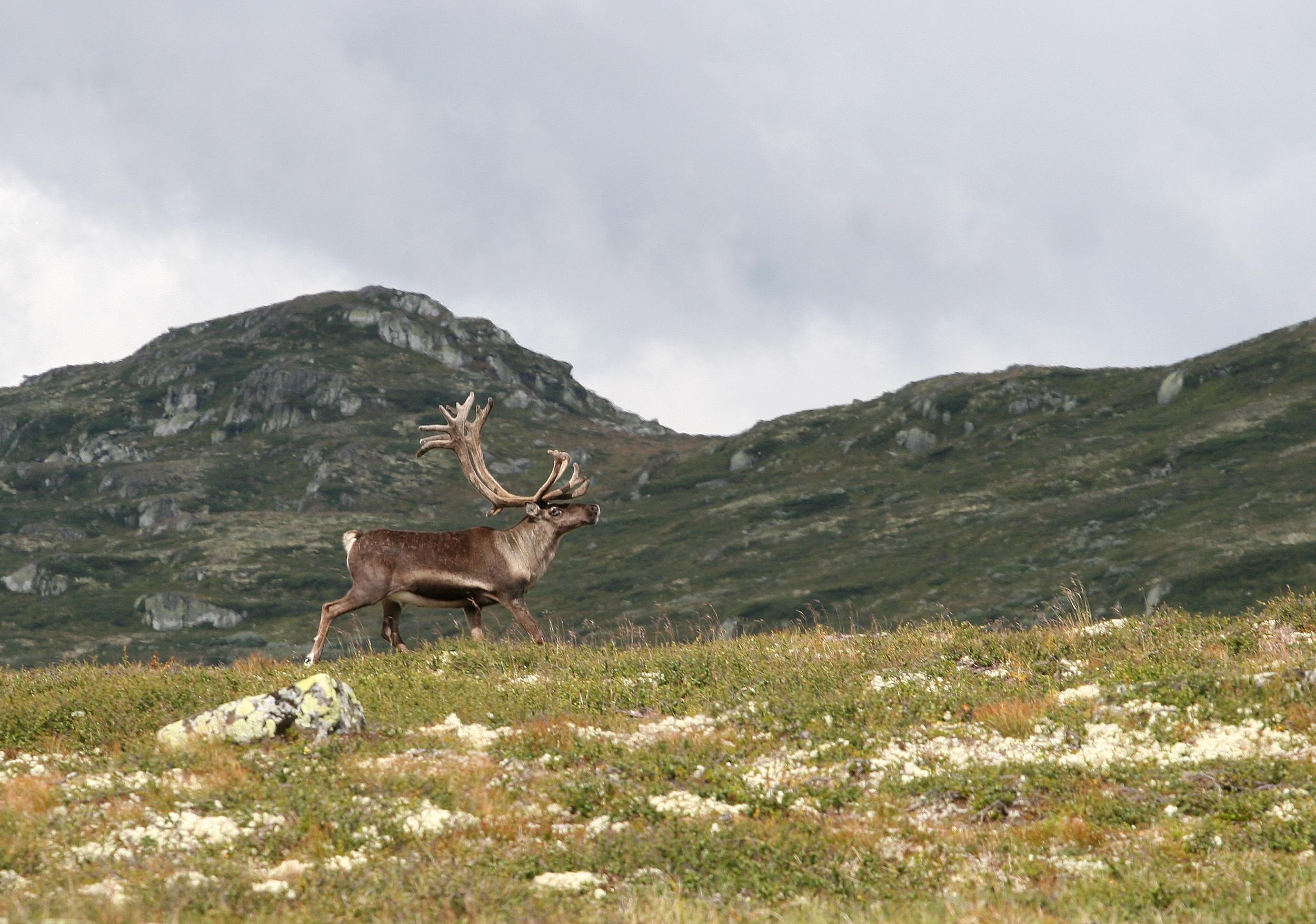 Vill tundrarein,  Rangifer tarandus tarandus , i sørnorske fjell. Foto: Anders Mossing