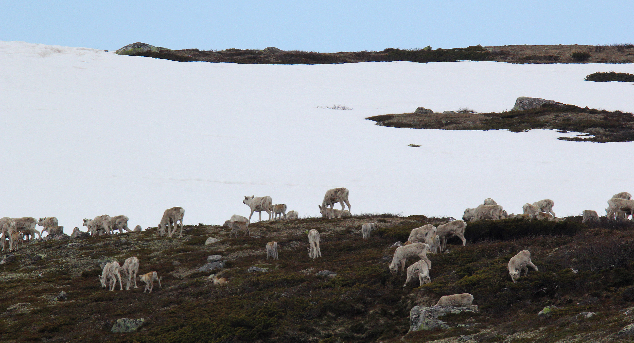 Årets kalvetilvekst antas å ha vært ganske beskjeden, mye pga. sein vår i høyfjellet. Foto: Anders Mossing