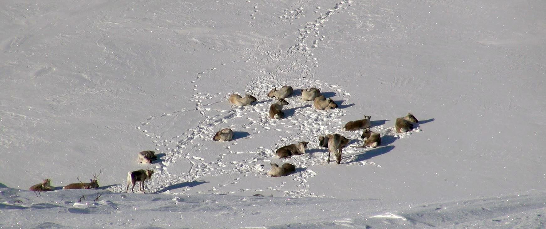 Villreinen hviler mye vinterstid, men pelsen isolerer godt. Foto: Anders Mossing