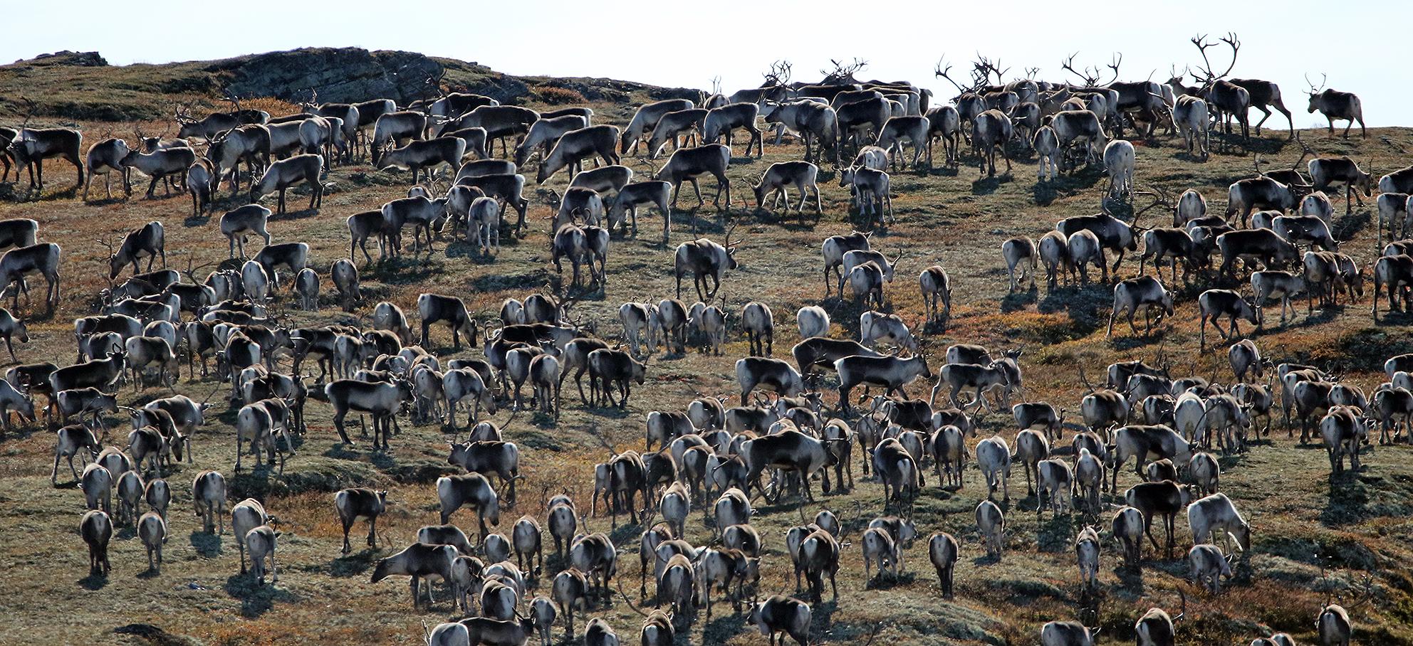 I den nye hjorteviltforskriften som gjelder fra 8. januar 2016, er alt om villrein samlet i et eget kapittel. Foto: A. Nyaas