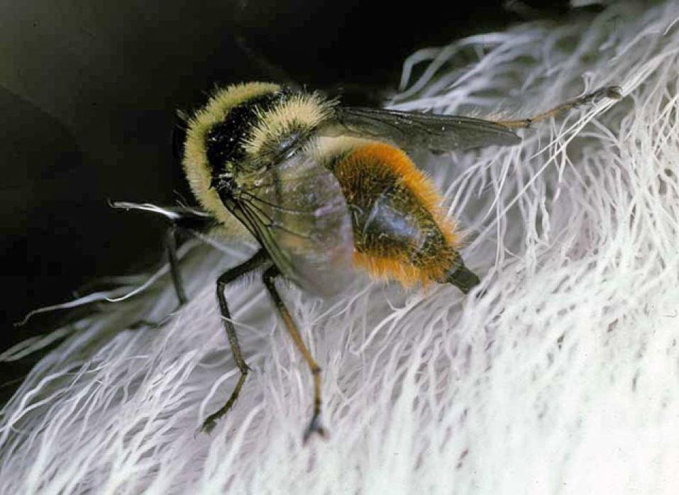Hunnflue av hudbrems legger egg i reinens pels. Foto: Arne C. Nilssen