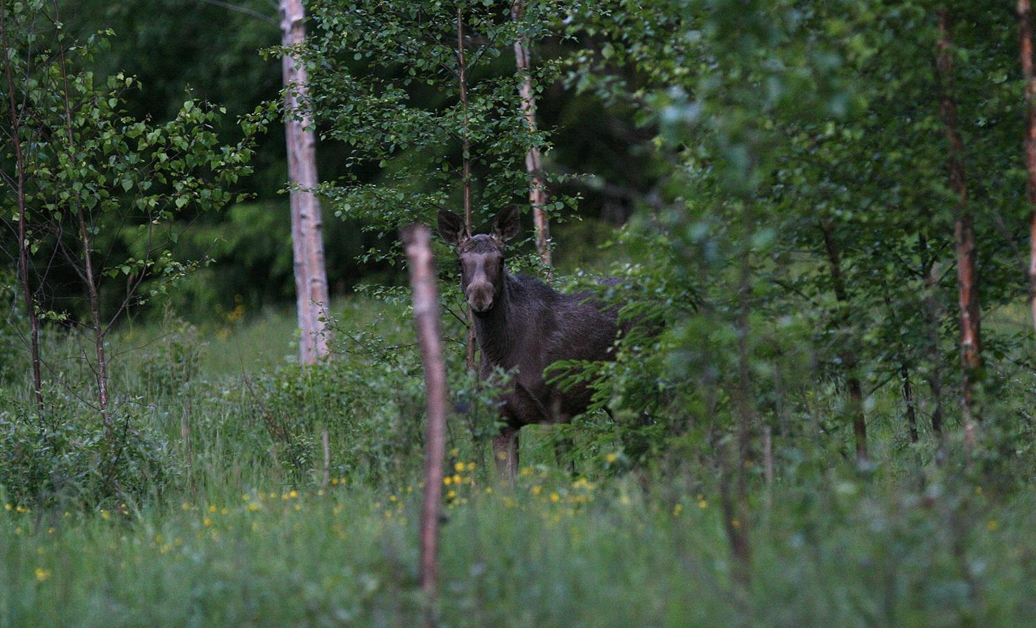 CWD er for første gang påvist på elg i Europa. Illustrasjonsfoto: Anders Mossing