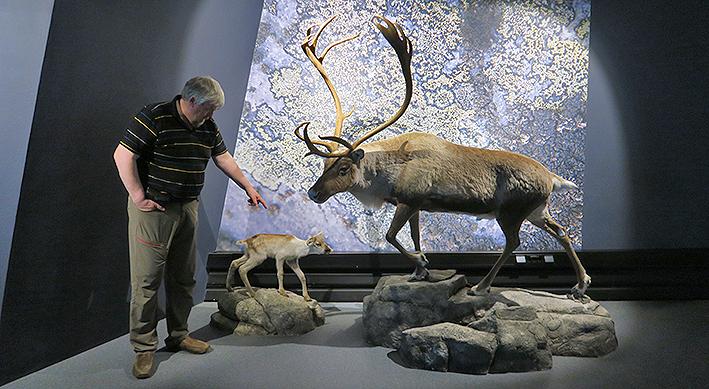 På tampen av dag én var det omvisning i villrein- og fjellrevutstillingen ved Hardangervidda Nasjonalparksenter. Her er det Hallvard Urset, leder i Forollhogna villreinutvalg, som ser seg om. Foto: A. Nyaas