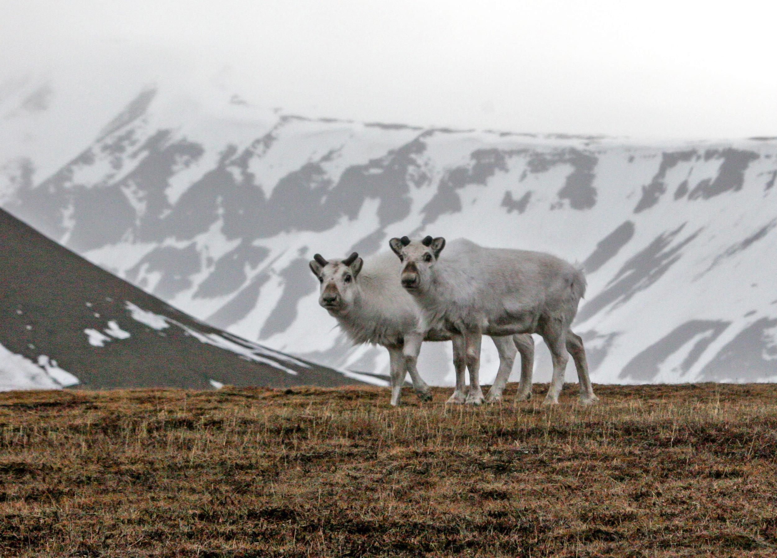 Det er juni i Adventdalen, og som vanleg opptrer svalbardreinen i spreidde smågrupper, ikkje i flokk som på fastlandet. Foto: Kjell Bitustøyl