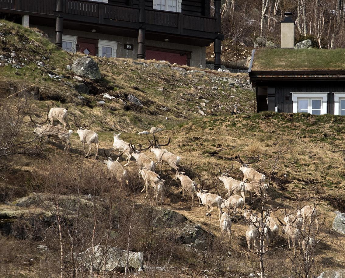 Våren 2015: Ein liten bukkeflokk frå Setesdal har kryssa E 134 og har funne seg grøne beite i eit solvendt hyttefelt i Vågslid. Foto: Kjell Bitustøyl