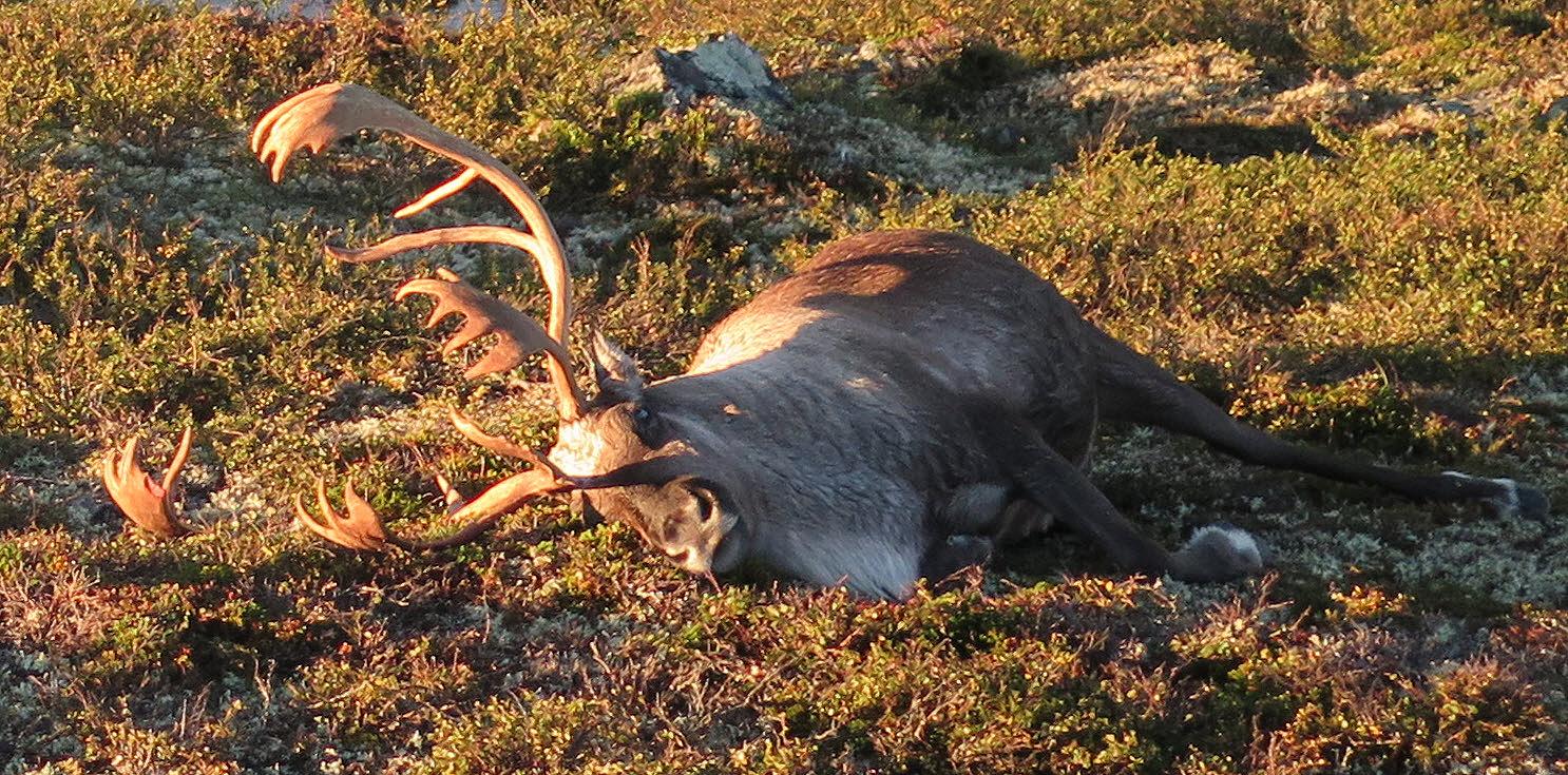 Fredag i forrige uke kom Statens naturoppsyn (SNO)over flokken på 323 dyr som var slått av lynet, ved Vesle Saure i Vinje kommune, blant andre denne storbukken. Foto: Håvard Kjøntvedt, Miljødirektoratet/Statens naturoppsyn (SNO).