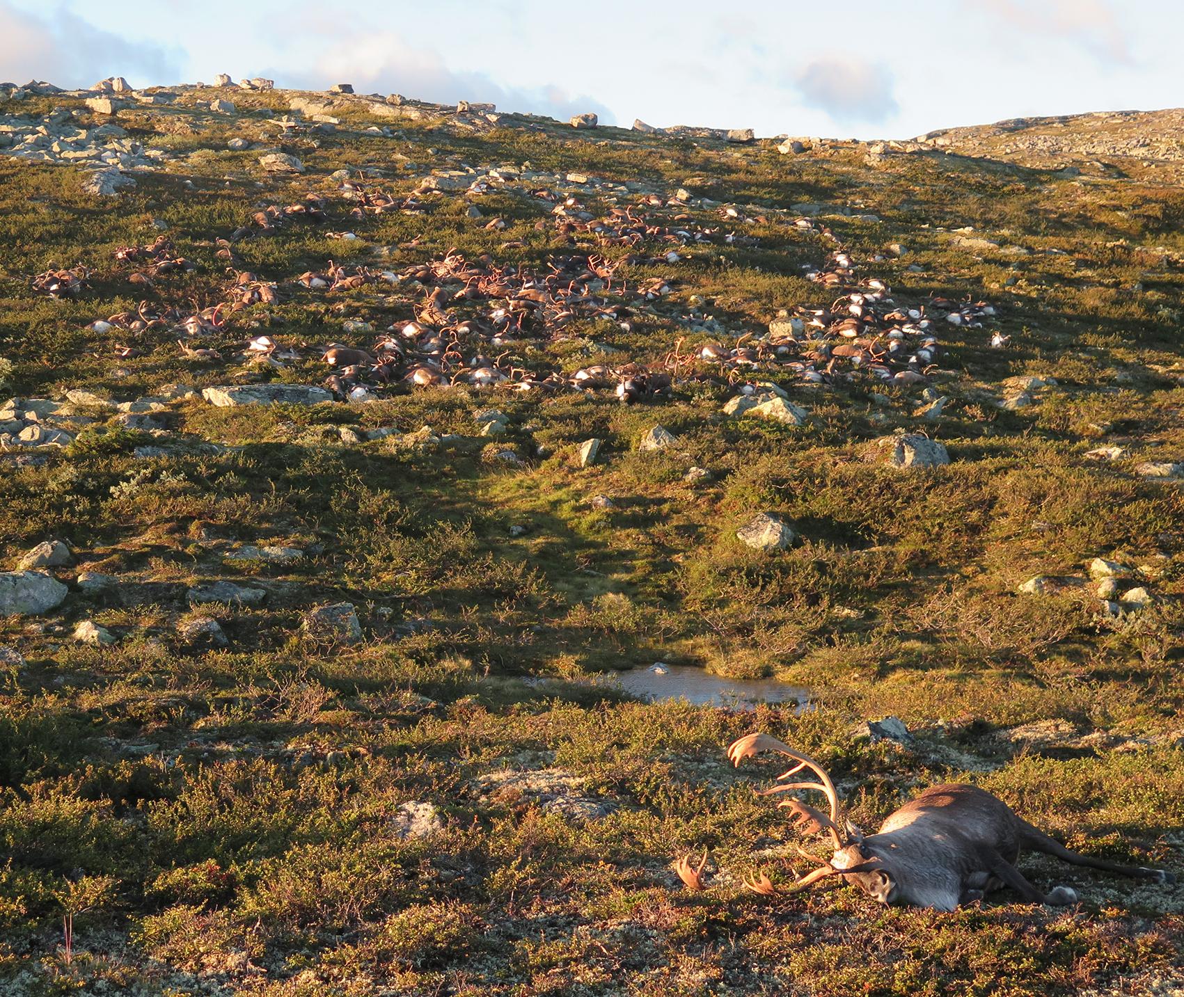 323 villrein ble slått av lynet. Foto: Håvard Kjøntvedt, Miljødirektoratet/Statens naturoppsyn (SNO).