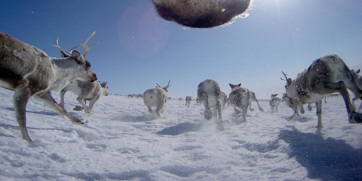 Bildene fra villrein med GPS-kamera er også viktige data som forskerne vil benytte i prosjektet Renewable Reindeer. Foto © Autokamera/Norsk institutt for naturforskning.