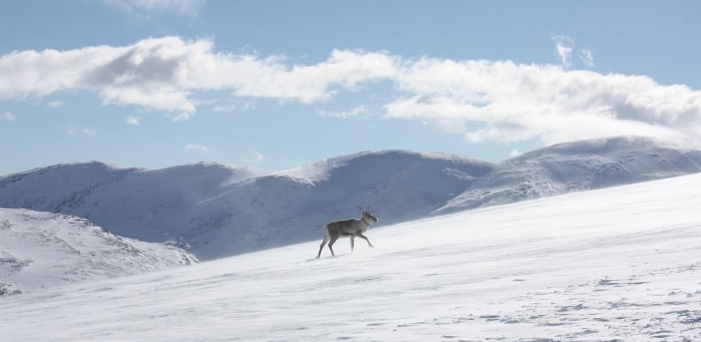 Ei av villreinsimlene som har samlet GPS-posisjoner i Snøhettaområdet. Foto: Ingrid Nerhoel, Norsk villreinsenter.