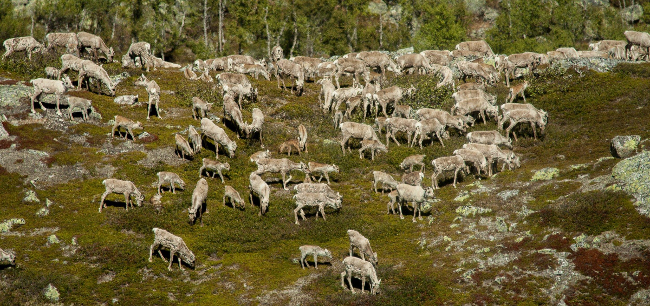 Forsking viser at reinbeiting kan ha positiv effekt på CO2-utslepp frå tundraen. Dette er ein fostringsflokk på beite i bjørkebeltet i Laksbotn ved Møsvatn. Foto: Kjell Bitustøyl.