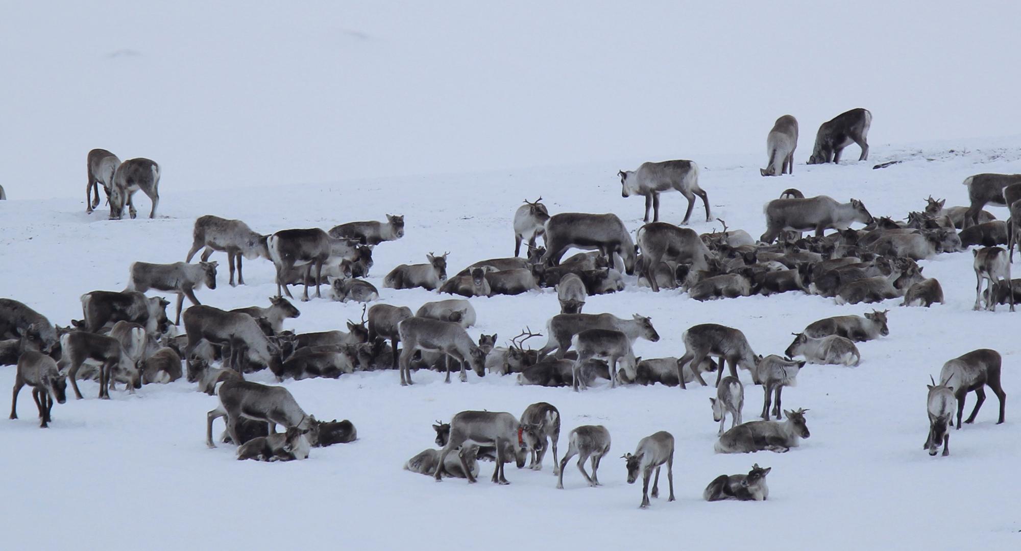 Inntil 30 GPS-merkede dyr kan felles i 2017. Foto: Anders Mossing