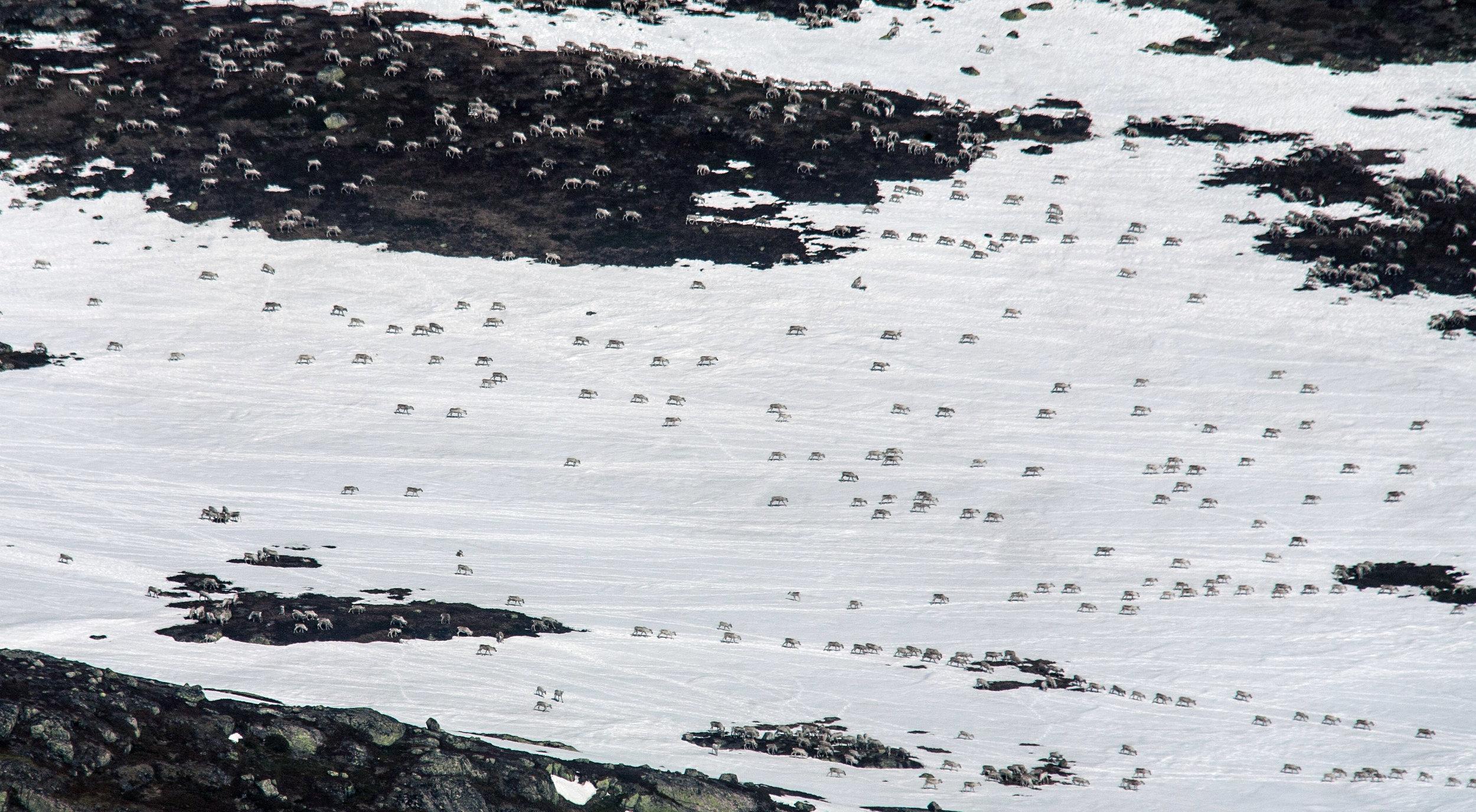 Fostringsflokk på vei mot kalvingsland. Hardangervidda 27. april 2014. Foto: Kjell Bitustøyl