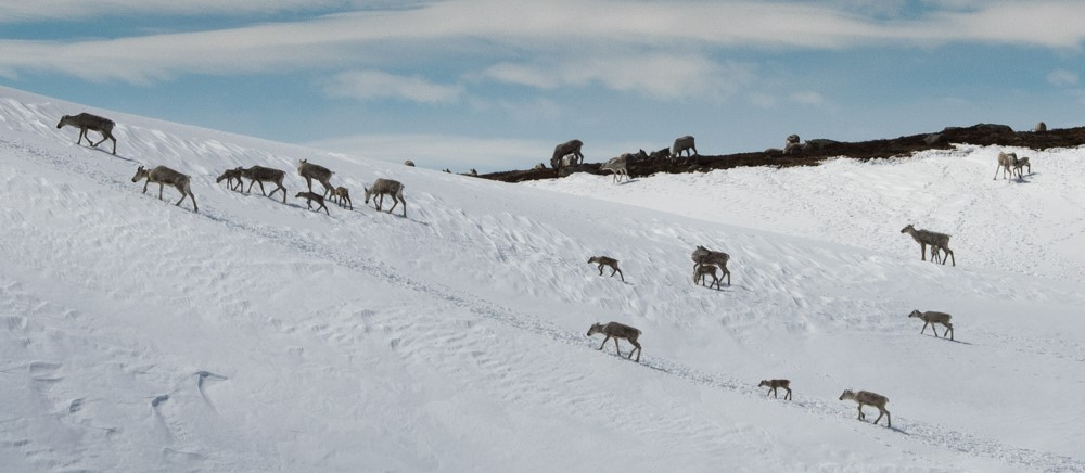 Mykje handlar om villreinen ved rullering av regional plan for Hardangervidda. Illustrasjonsfoto: Kjell Bitustøyl
