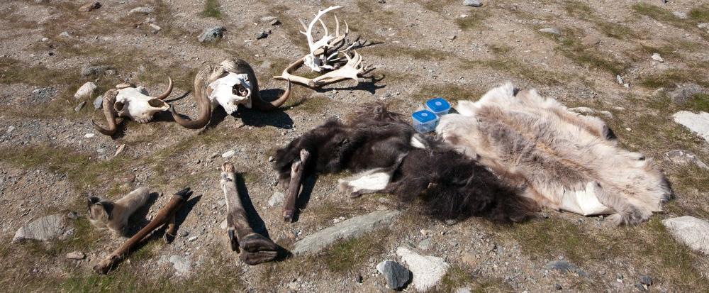 """Litt av """"effektane"""" Connie har med seg i naturrettleiinga: klauver av ulike hjortedyr, horn av moskus, reinsdyrgevir, reinskinn og moskusskinn. Foto: Kjell Bitustøyl"""