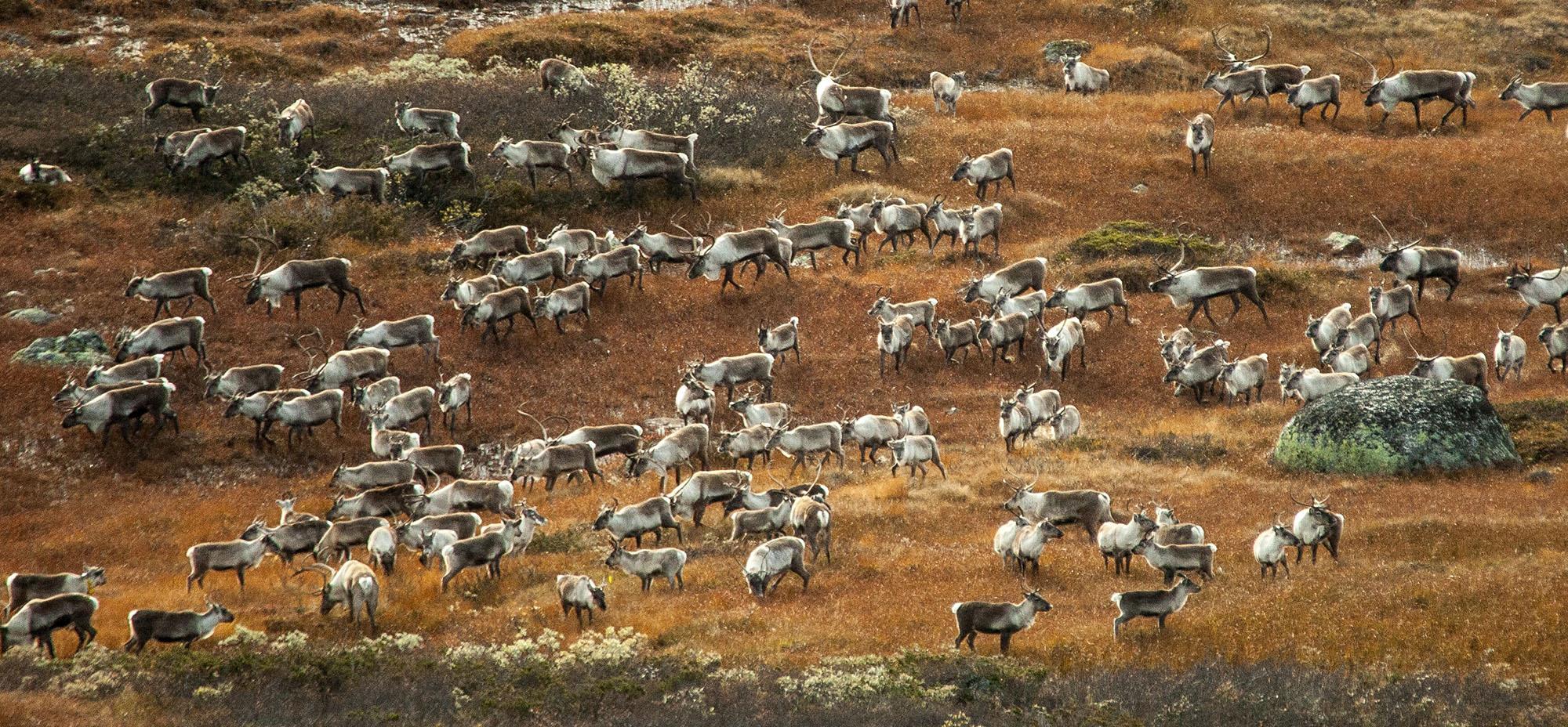 Av ein kvote på 6000 dyr blei det på Hardangervidda i år felt 1376 dyr. Foto Kjell Bitustøyl
