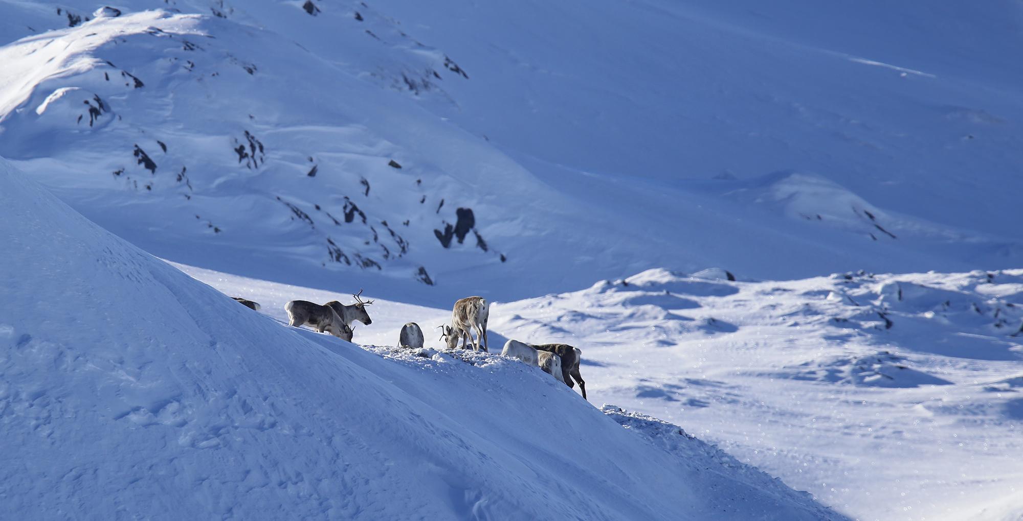 Helseovervåkingsprogrammet for hjortevilt og moskus er 20 år og feirast med seminar. Illustrasjonsfoto: Anders Mossing