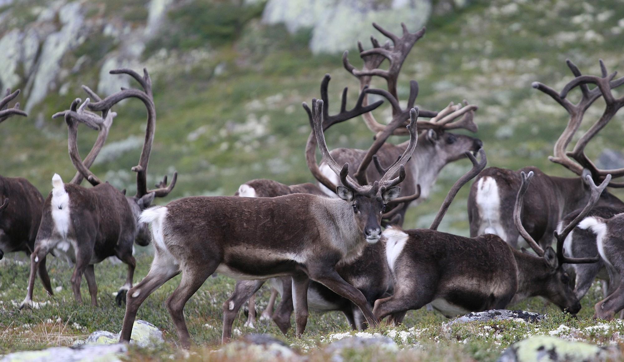 E it bilete av dagens villrein på Norefjell (Foto: Anders Mossing).
