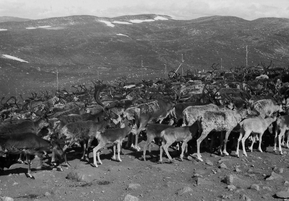 Samling til kalvemerking på Gråfjell. Foto utlånt av Gunnar Storeli.