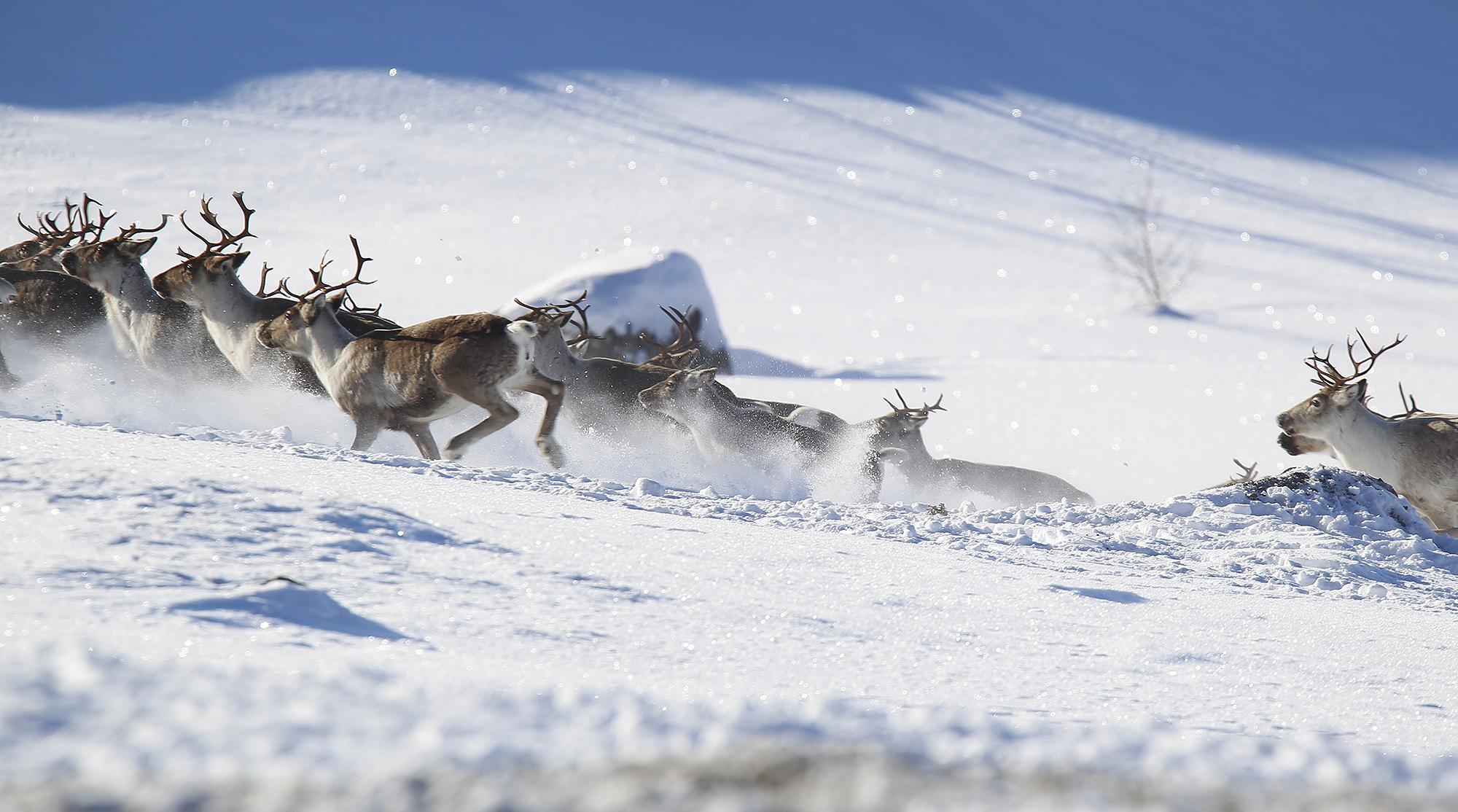 Mange er bekymret for om handlingsplanen i god nok grad tar hensyn til sårbare arter, så som villrein. Foto: Anders Mossing