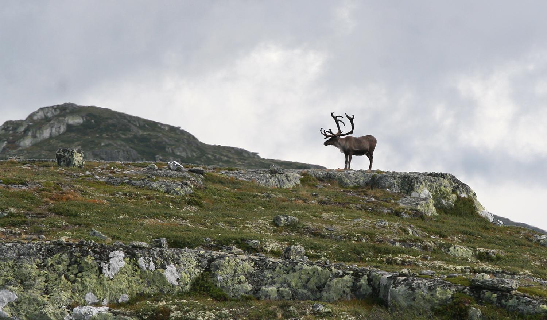 Mattilsynet har snudd i saka om statleg felling av bukk i Nordfjella og på Hardangervidda. Illustrasjonsfoto: Anders Mossing