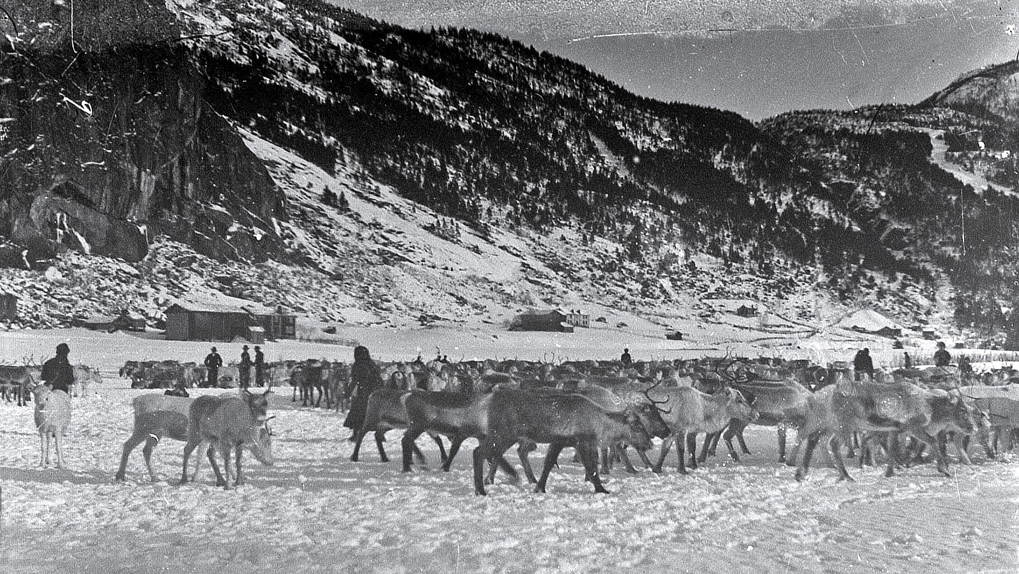 Sørsamane Lars Johnsen og Sigrid Johnsen var blant dei som var lengst i Setesdal med eigen rein, dette er flokken til Lars og Sigrid, biletet er frå slaktinga på Bjørgum i Valle i 1914. Foto utlånt av Setesdalsmuseet.