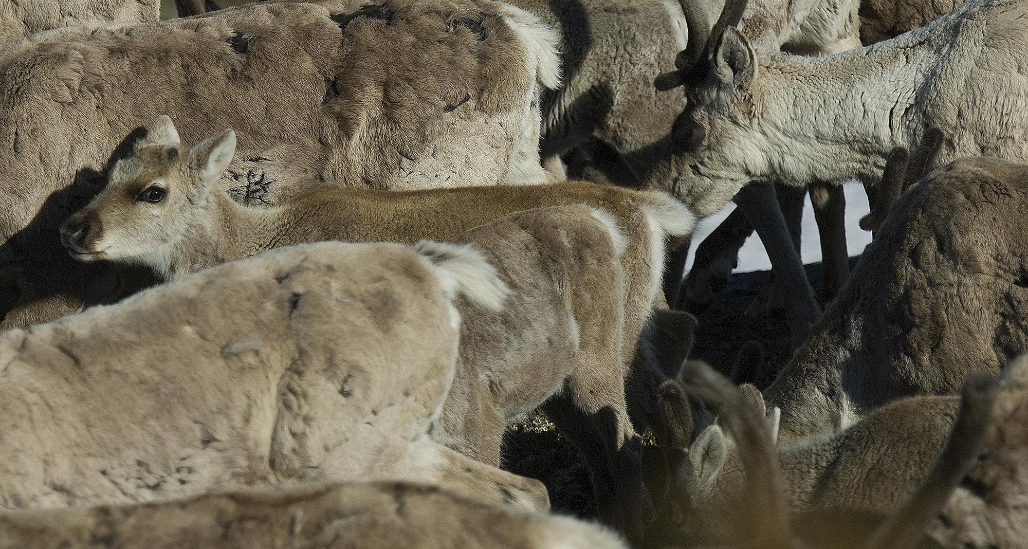 Kalvetellingene gjøres fra helikopter, og målet er å kunne si noe om andelen kalv som rekrutteres til bestandene. Foto: Olav Strand