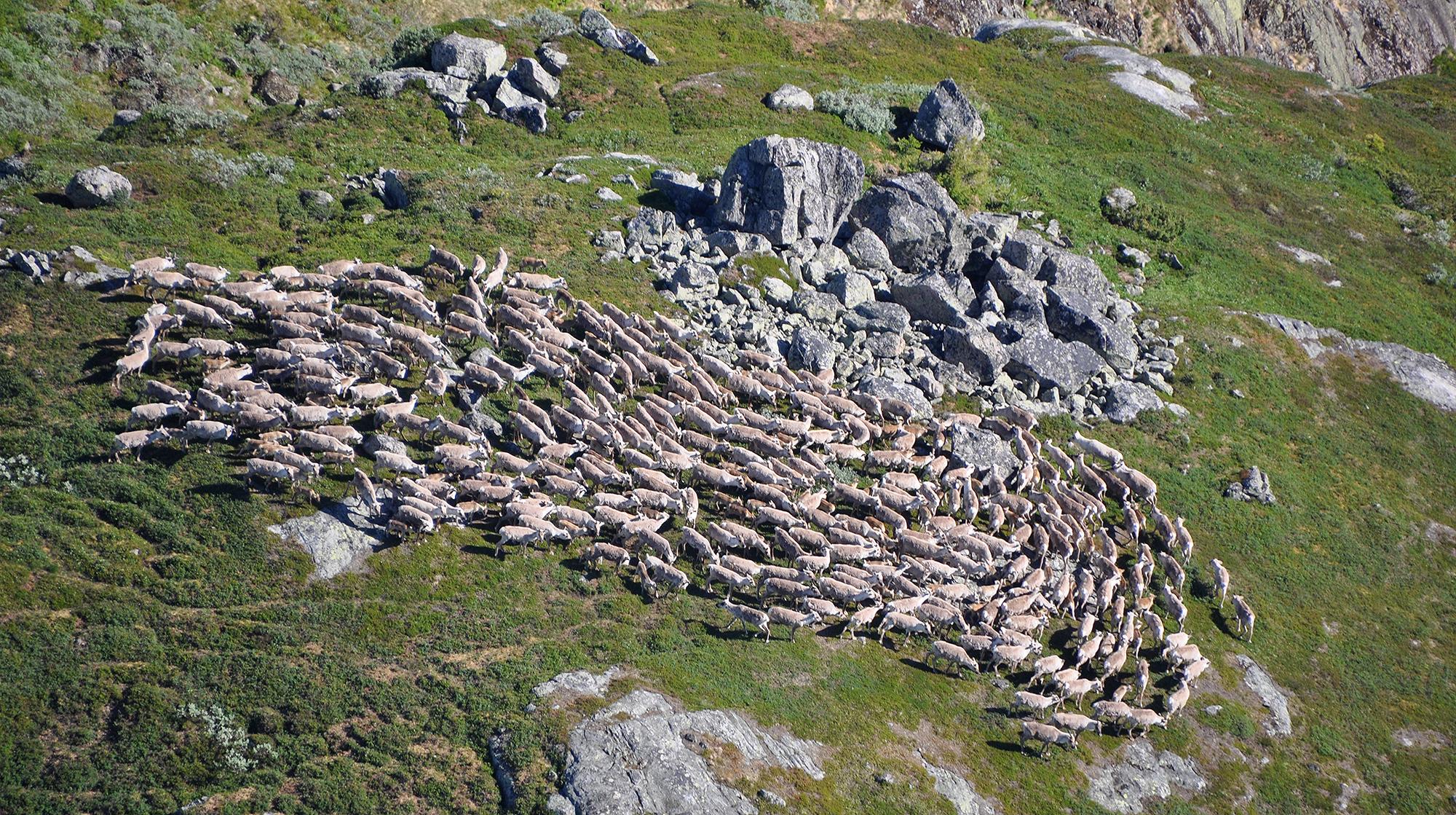 Fostringsflokk på 431 dyr øst for Ljomsnuten i Valle kommune. Foto: Svein Ekre