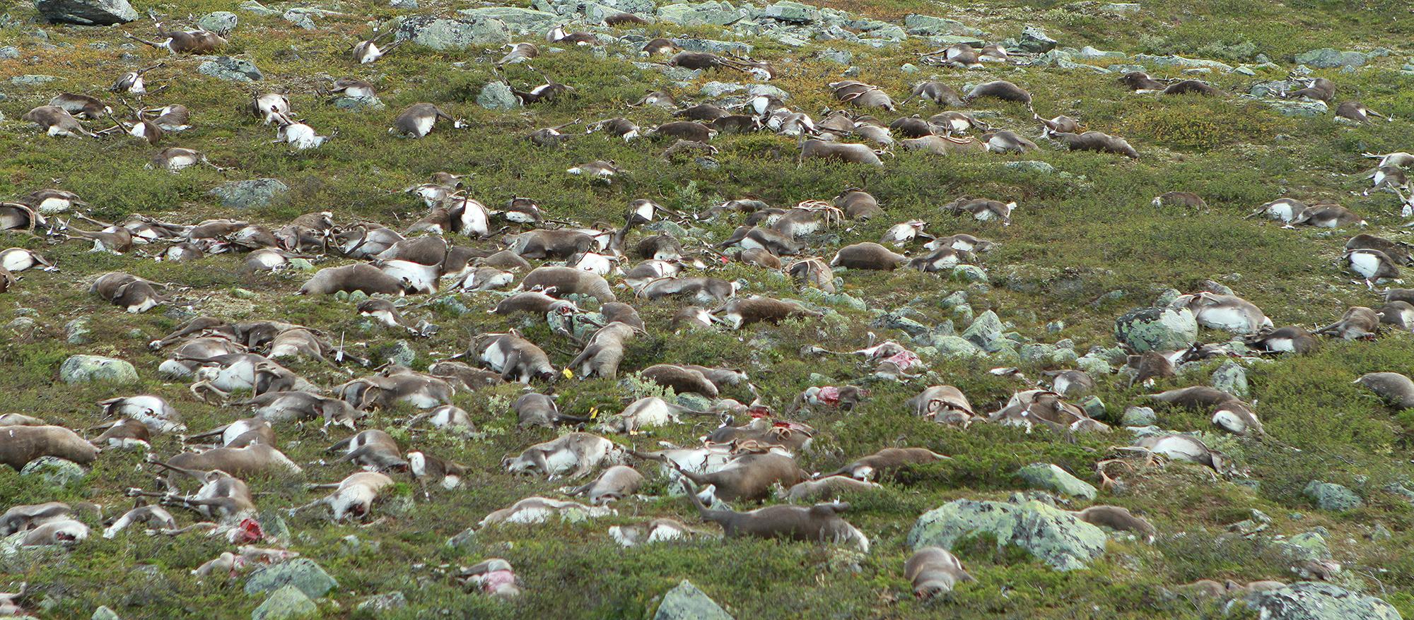 Bilete visar ein del av dei daude reinsdyra nokre dagar etter hendelsen. Foto: Knut Nylend/Statens naturoppsyn