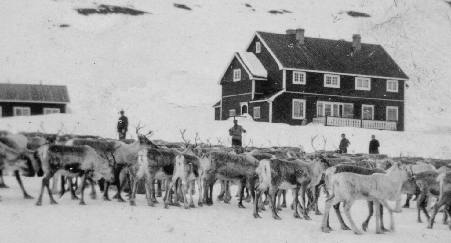 Tamreinflokken til Hol og Ål reinco fotografert ved Geiterygghytta. Foto utlånet av Kjell Slåtten.