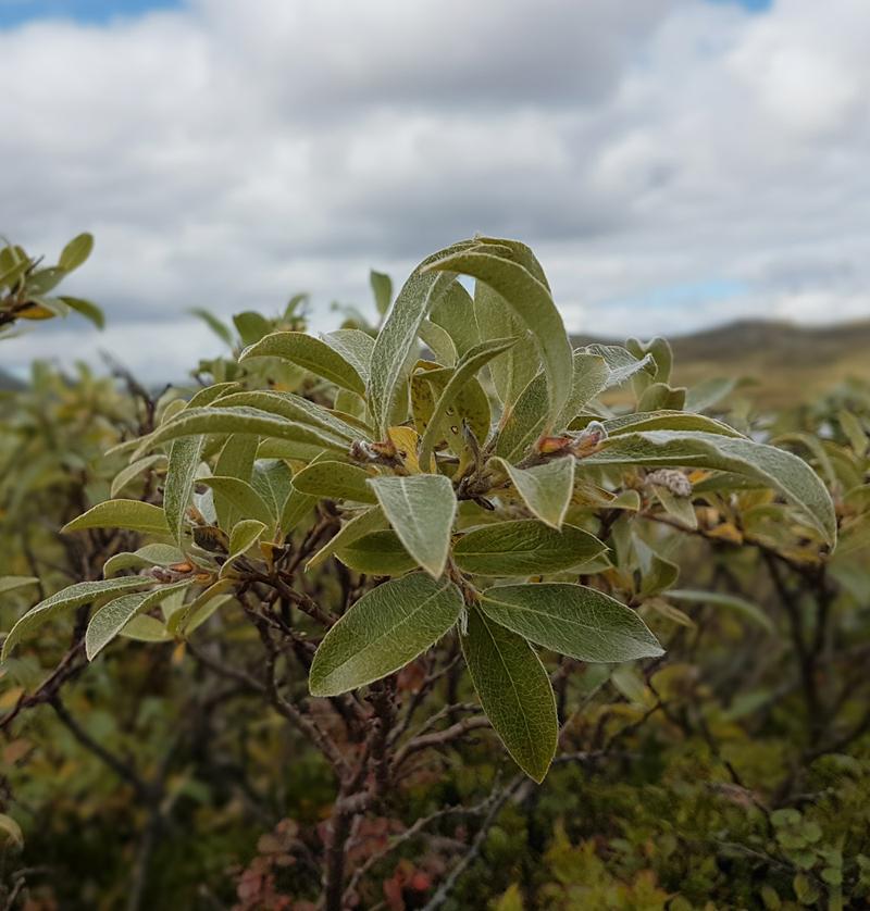 Ein kan forvente at plantesamfunn som er dominert av lauvfellande og urteaktige planter, som til dømes sølvvier, vil vera dei som endrar veksten sin mest og altså er mest påverkelege av klimaendringane. Foto: Anders Mossing