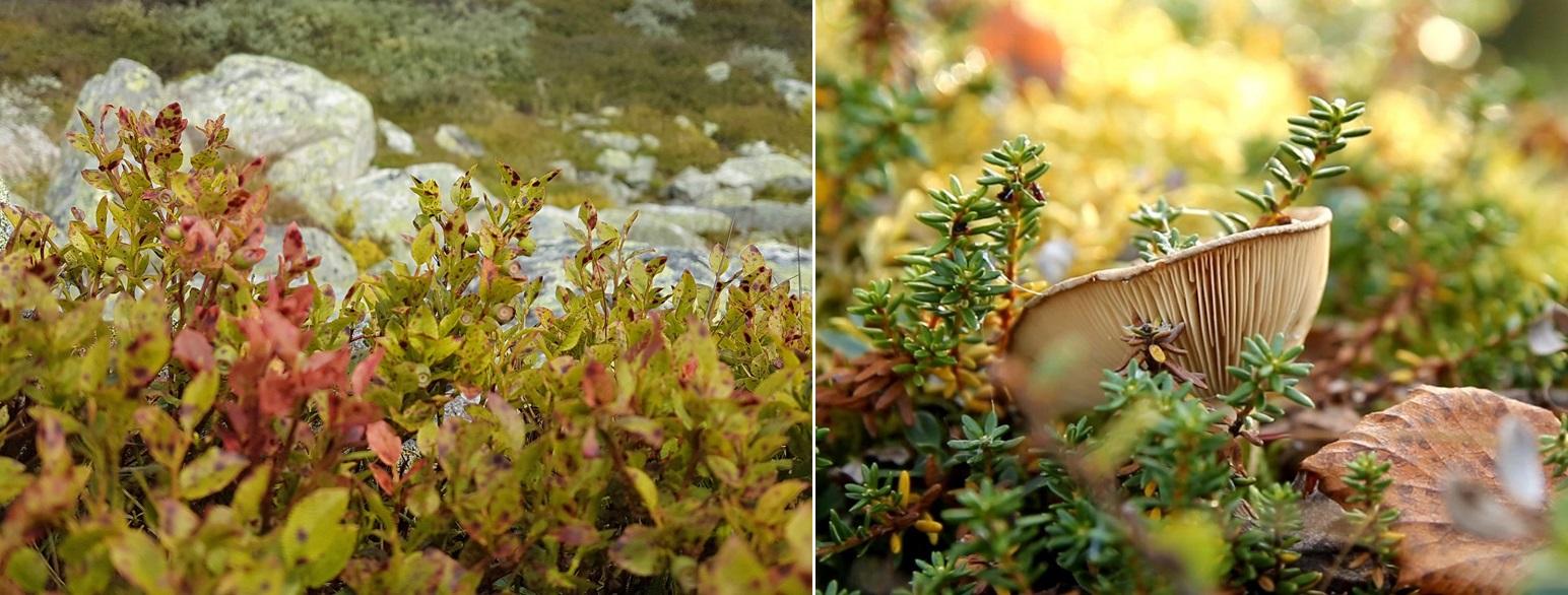 Blåbærris og rimsopp. Foto: Anders Mossing