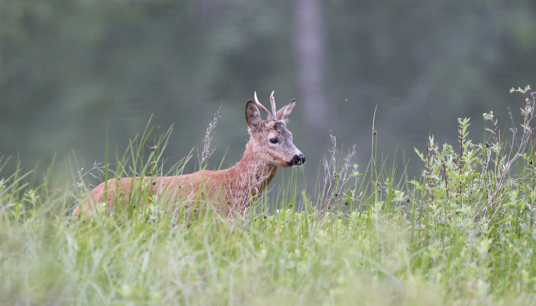 Skogflåtten syg blod frå pattedyr, slike som smågnagarar, hare, rådyr og andre hjortedyr. Foto: Anders Mossing
