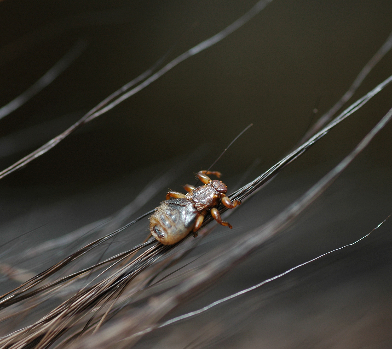 Hjortelusflue i sitt rette element. Foto: Bjørnar Ytrehus/Veterinærinstituttet