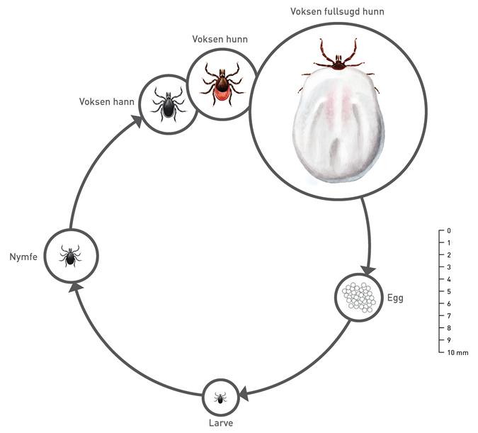 Flåttens livssyklus. Illustrasjon: Hallvard Elven og Preben Ottesen, Folkehelseinstituttet