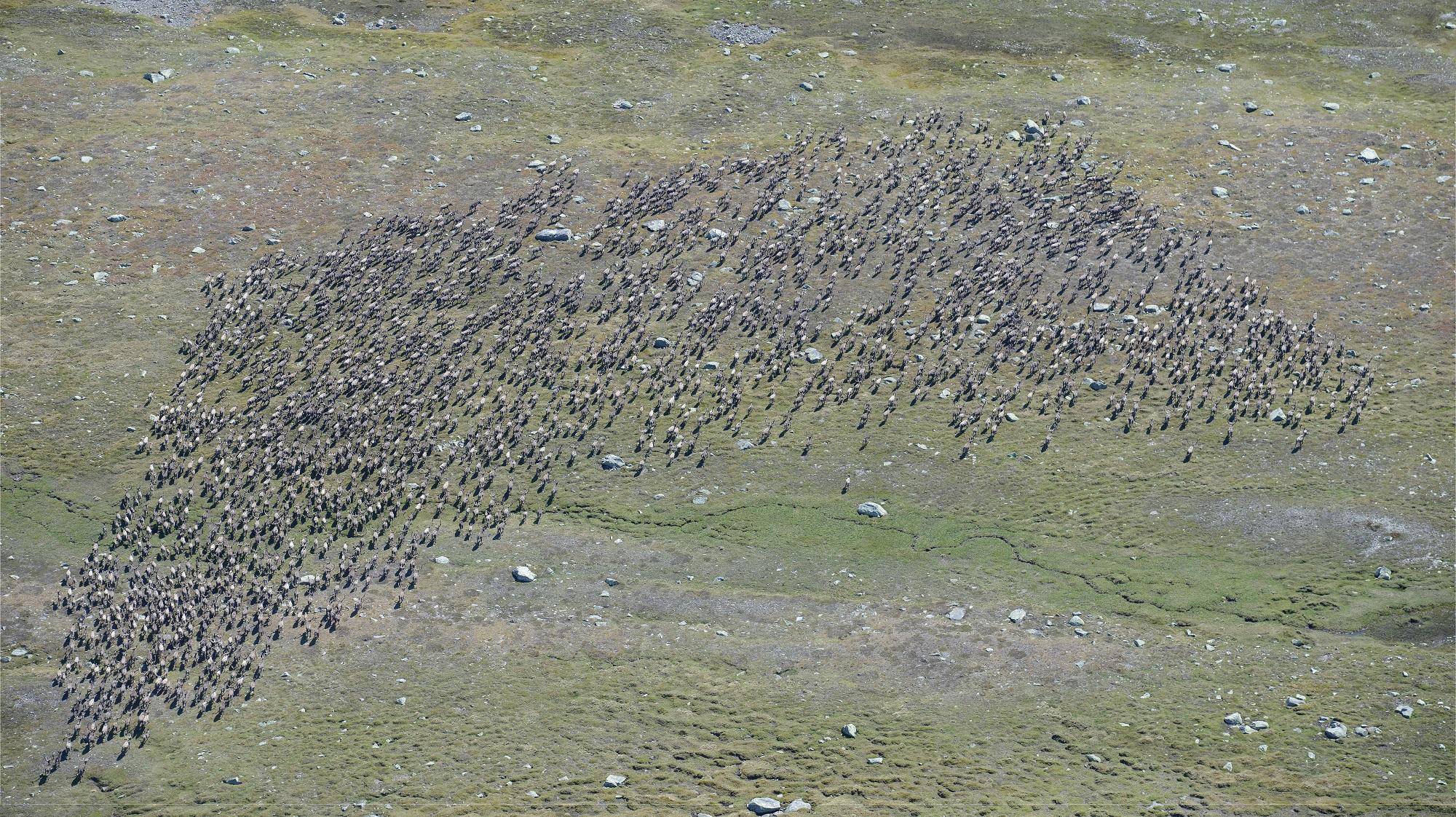 Storflokk med 2097 dyr fotografert under kalvetelling på Hardangervidda i 2017. I denne flokken var det 1239 voksne bukker. Illustrasjonsfoto: Olav Strand