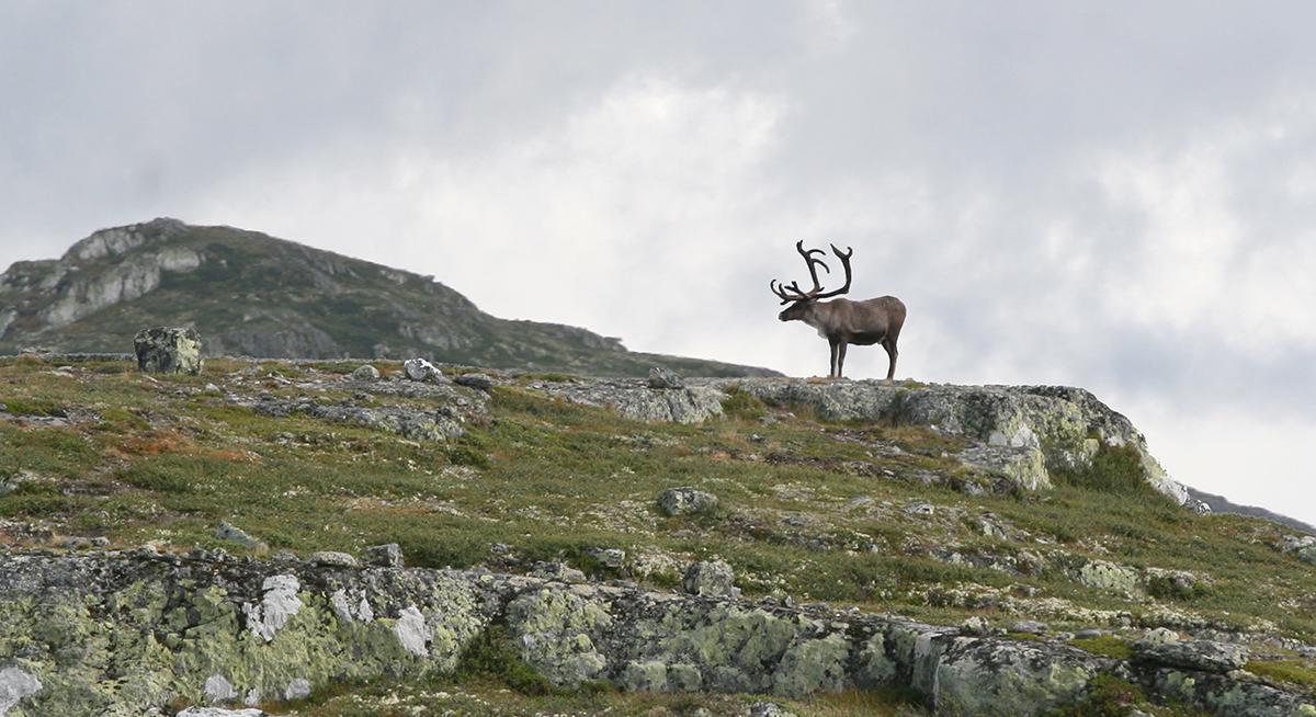Villreinnemnda for Sogn og Fjordane har vedtatt kvote for sine fem områder. Illustrasjonsfoto: Anders Mossing
