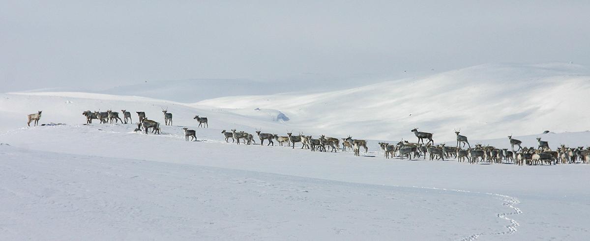 Villrein på nordvestvidda, i bakgrunnen Lægreidsoksla og Lægreidsnutane. Foto: Kjell Bitustøyl